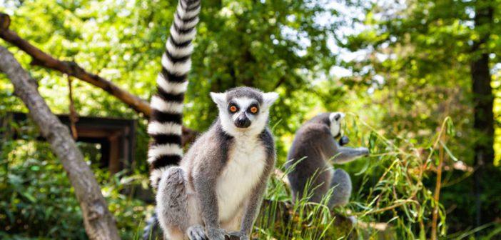 Lemuri del Parco di Tsimbazaza