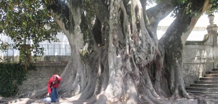 Ficus del Giardino Botanico di Coimbra