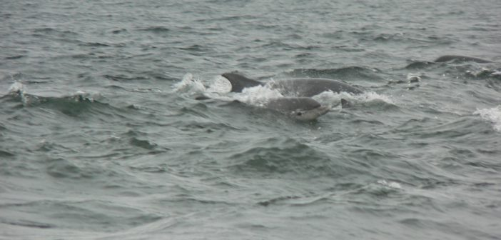 Moray Firth - Delfini