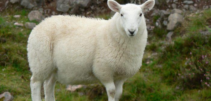 Pecora scozzese