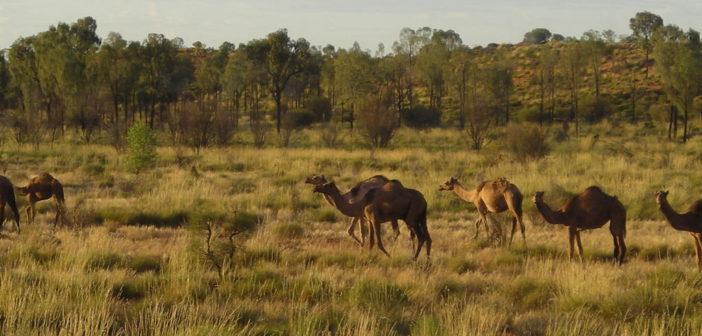 Cammelli nei pressi di Curtin Springs